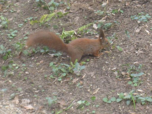 An Eastern European (red) squirrel, though this photo was shot in Warsaw, not Kyiv